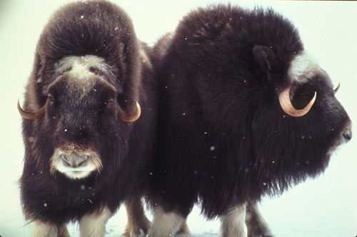 musk ox pair | by USFWS Headquarters