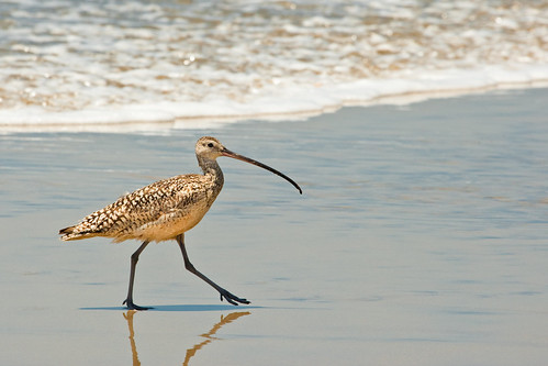 Long-billed curlew | by USFWS Pacific Southwest Region