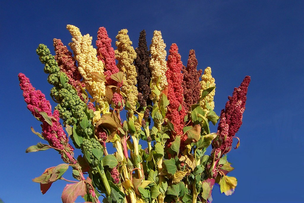 Quinoa (Chenopodium quinoa) - Neglected and Underutilized species