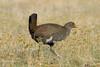 Tasmanian Native-Hen (Gallinula mortierii) by peter.lindenburg