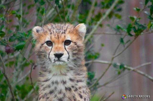 Rufaa - Cheetah Cub
