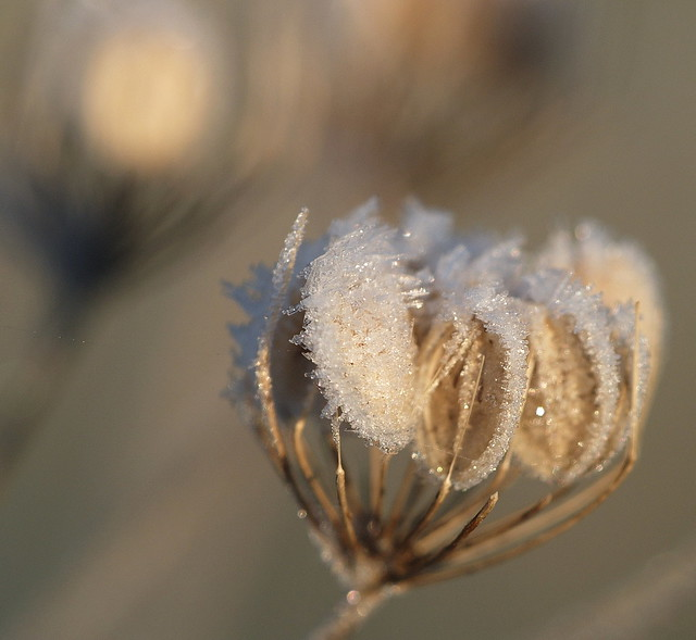 Frosted seeds