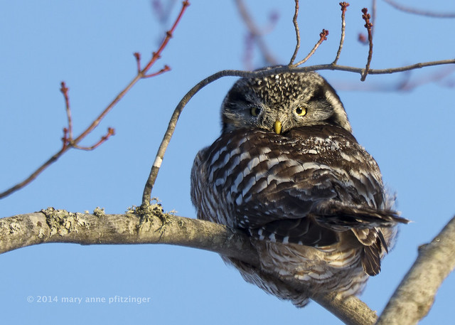 Frosted Northern Hawk Owl