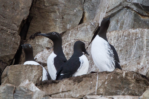 Common Murre  (Uria aalge) | by sussexbirder