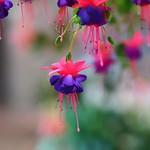 フクシア 'ファンシーフリー/ Fuchsia x hybrida 'Fancy Free'