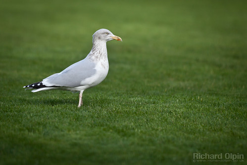 What can you see gull? | by Richard Olpin LRPS