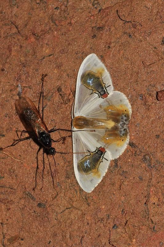 Macrocilix maia (Drepanidae: Drepaninae)
