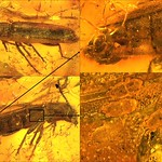 Baltic amber (40-50 MYO) - Longhorned beetle (Cerambycidae, Nothorhina granulicollis (Zang, 1905), with parasites (Uropodidae) and undetermined mites (Can you help with identification?),  9 mm