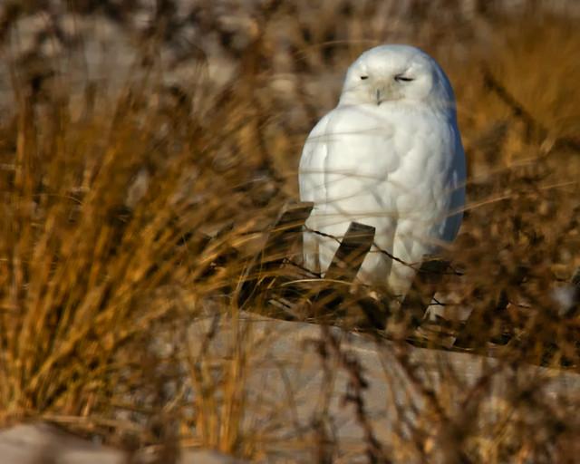 snowy_owl_1098_JB_01_16_12_resized