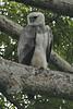 030201-IMG_1722 Harpy Eagle (Harpia harpyja) by ajmatthehiddenhouse
