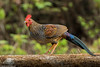 Grey Jungle Fowl #147 by Ramakrishnan R - my experiments with light