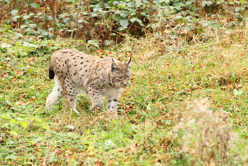 Lynx taken in the Black Forest Germany
