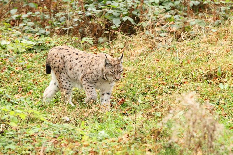 Lynx taken in the Black Forest Germany