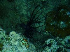 zo, 09/10/2011 - 02:58 - 071. Black Lionfish, Hideaway Island onderwater