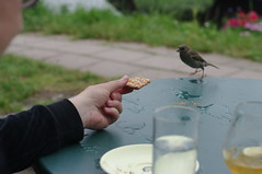 sparrow approaching biscuit