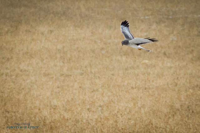 The Mighty Hunter - Northern Harrier