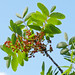 Τερέβινθος - Photo (c) Bill Kirby1, μερικά δικαιώματα διατηρούνται (CC BY-NC-ND)