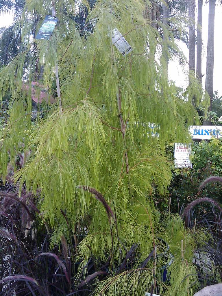 Lime Magik Acacia Cognata With Purple Fountain Grass Flickr