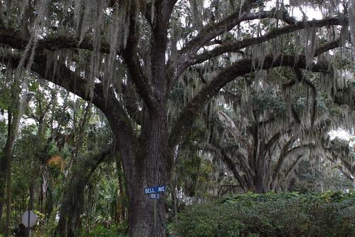 old tree oak florida south swamp spanishmoss brooksville