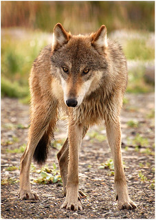 Long and Lean Katmai Wolf | by Sheila Newenham