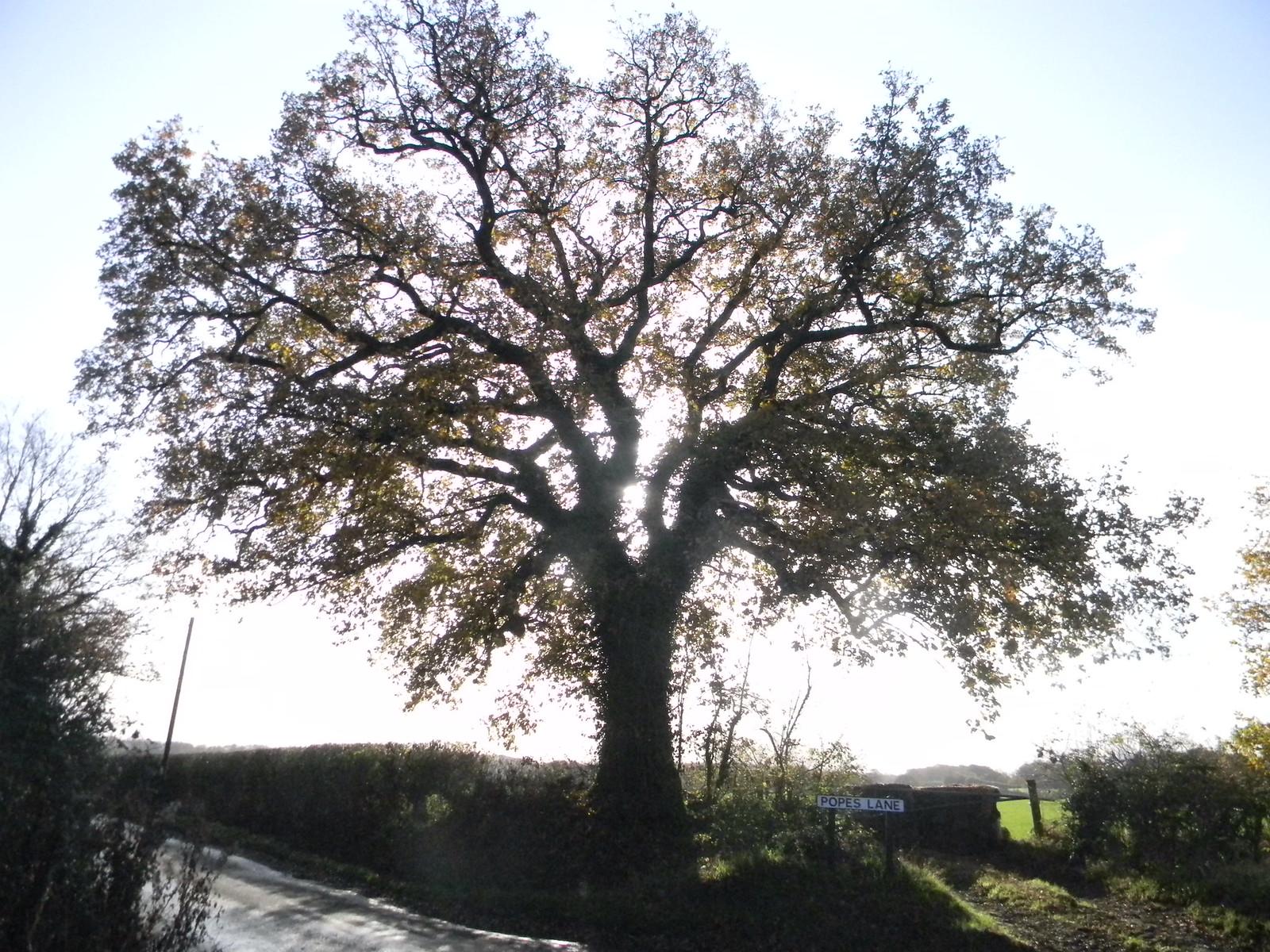 Tree Oxted Circular (a variant via Staffhurst Wood)