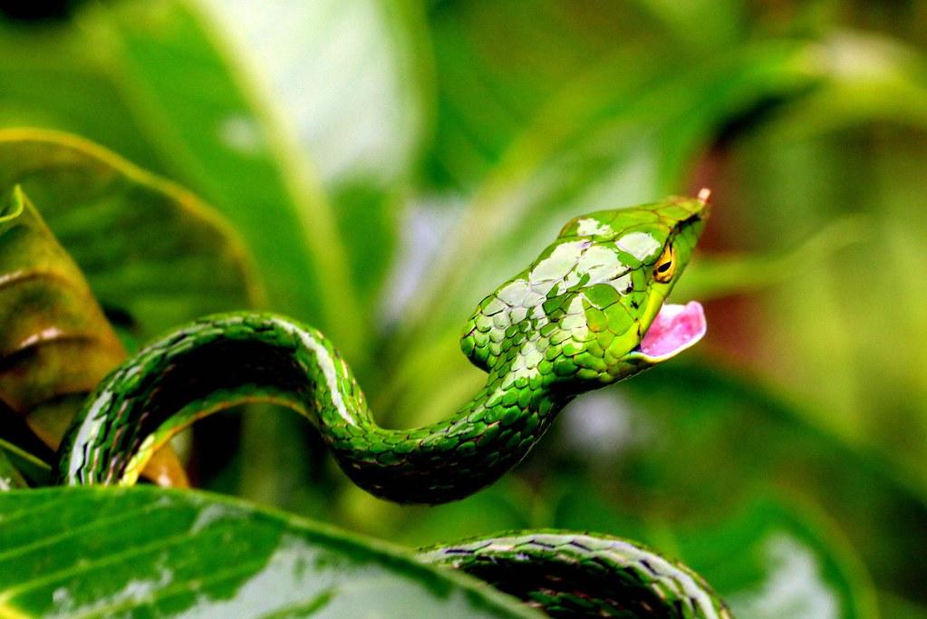Vine Snake - perturbed
