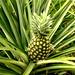 Wsparcie wspólnot w Ghanie 2011 — plantacje ananasów