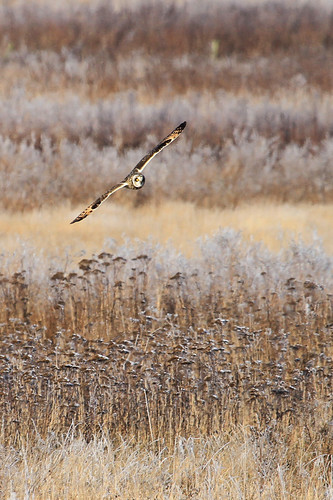 Short-Eared Owl on the hunt | by DragonSpeed