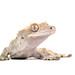 Crested gecko again