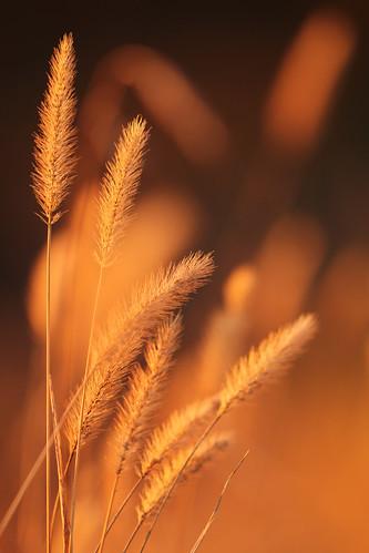 november black nature field grass closeup gold golden afternoon meadow seedhead goldenhour backlighting 020 protophotogsl
