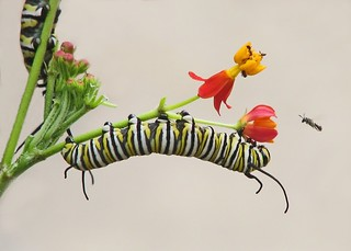 Monarch caterpillars on scarlet milkweed | by Vicki's Nature