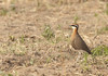 The Indian Courser by ....Nishant Shah....