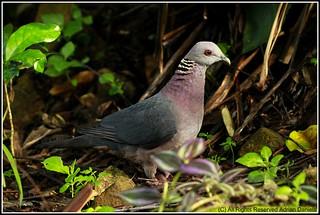 Sri Lanka Wood Pigeon Columba Torringtoni Endemic To Sri