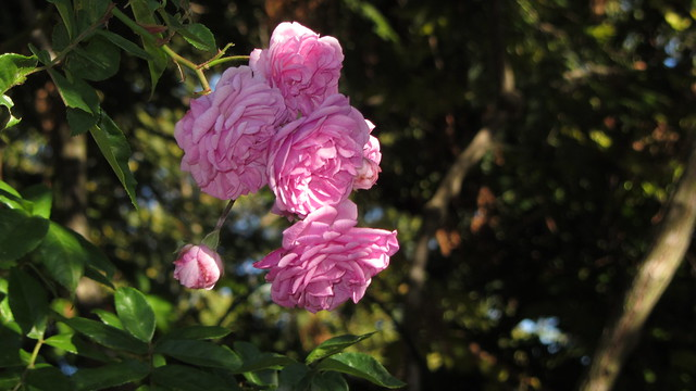 IMG_0501 'Excellenz von Schubert' rose spray