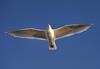 Glaucous-winged x Western Gull hybrid by jeslu