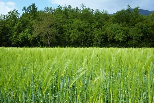 italy green campania wheat sony pistaciclabile grano provinciadisalerno mirrorless parconazionaledelcilentoedelvallodidiano sonyilce sonyalpha5000l ciclabiledicasalbuono