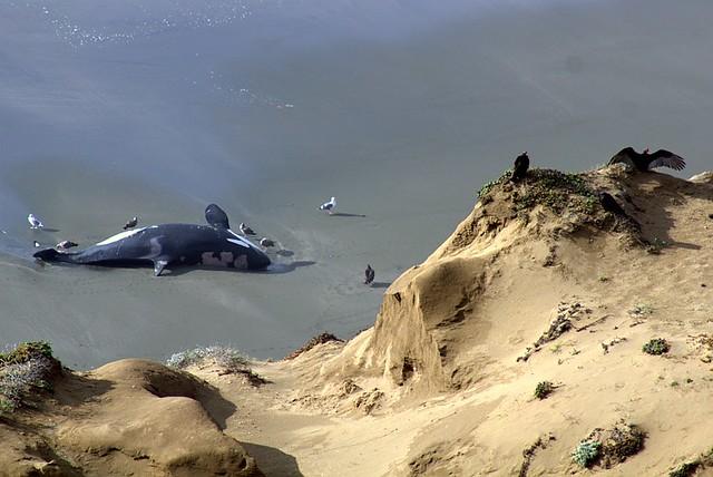 the dead orca