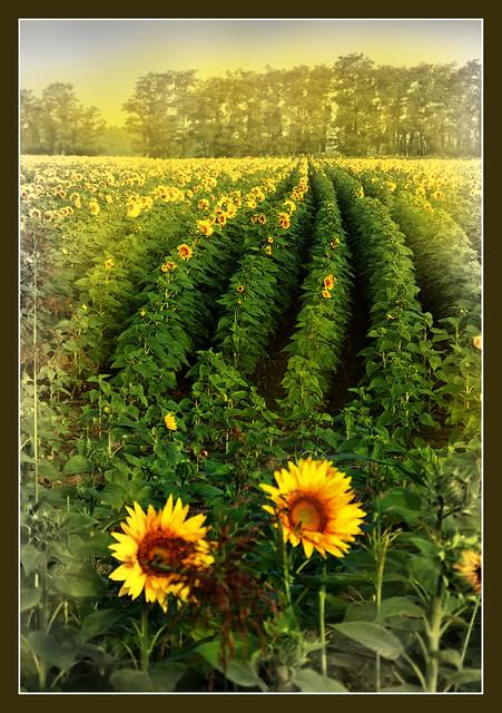 giallo girasoli (voglia di estate)