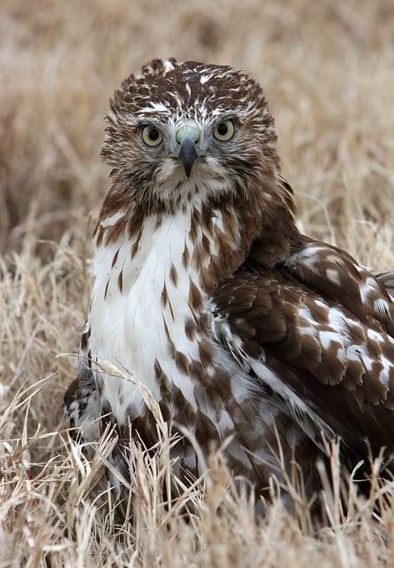 Injured hawk!