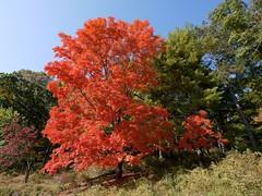 日, 2010-10-17 10:26 - Bear Mountainのスケートリンク裏の見事な紅葉