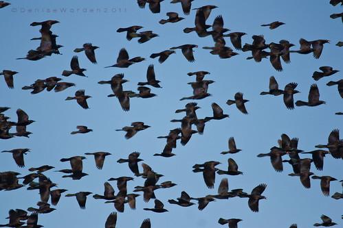 birds canon virginia fly wings berries starlings ruminate 450d backbaywildliferefuge imaginefotocom