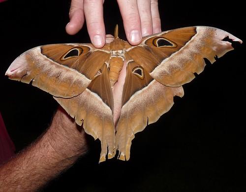 Hercules moth (Coscinocera hercules)