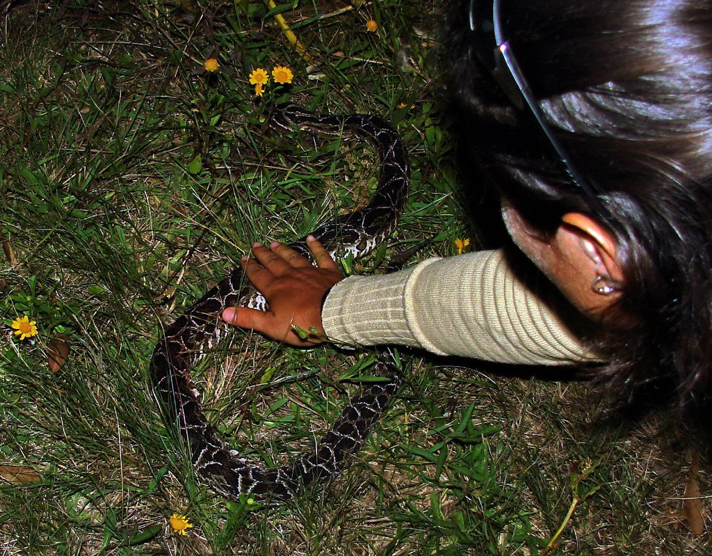 Bothrops alternatus/Fer-de-lance---7th of 7 photos