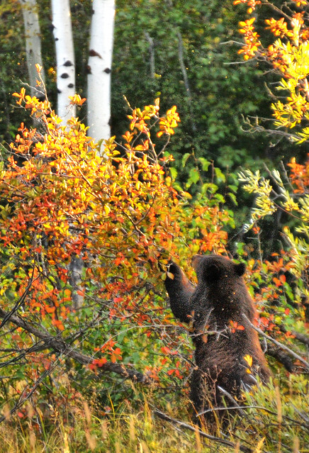 A Bear in the Woods at Jackson Hole
