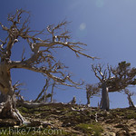Old Pines on trail