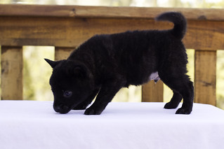 Nami-Litter1-Day40-Puppy6-Male-4 | by brada1878