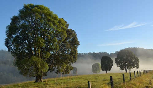 morning trees mist fence landscape countryside australia nsw rutaceae australianflora northernrivers tweedvalley australiantrees crowsash flindersiaaustralis flindersia morninglandscape crowash