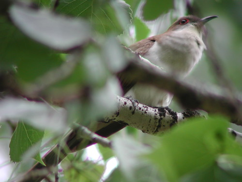 Black-billed Cuckoo, Miles City, MT, June 3, 2002