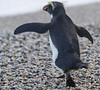 Fiordland Crested Penguin by NZ Nature by Glenda Rees