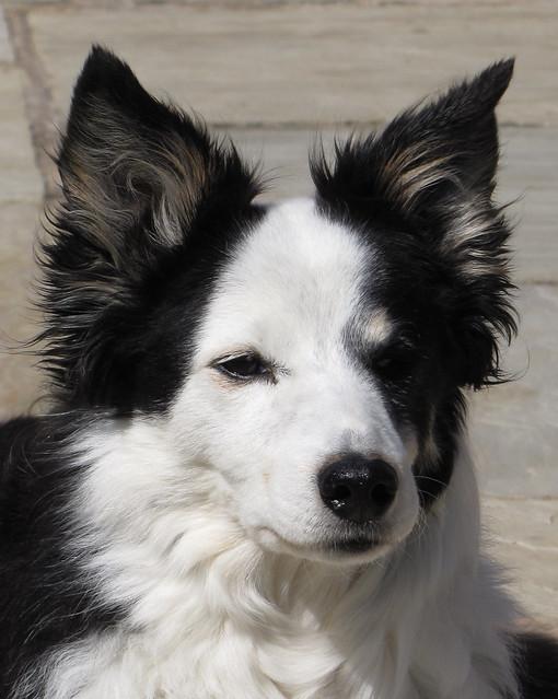 Sheep dog (Canis lupus familiaris) female portrait